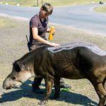 Sayang Binatang, Tapir ini Diolesi Sunblock