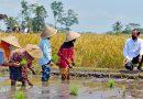 Aksi Presiden Jokowi Berjalan di Tengah Hamparan Padi yang Menguning dan Berdialog dengan Buruh Tani